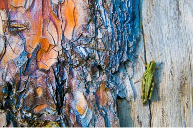 Grasshopper on Old Tree