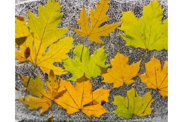 Fallen Leaves Under Ice