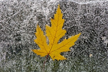 Silver Maple Leaf on Ice