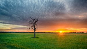 lifeless tree surrounded by luch green field at sunrise
