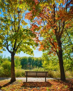 bench with two colorful maple trees in fall