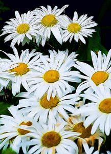 impressionist white daisies