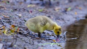 cute gosling chick drinking