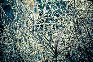 frost covered branches in winter