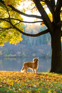 golden retriever in fall