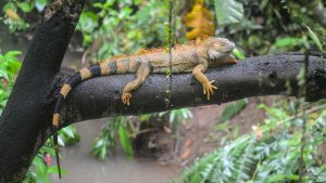orange iguana on tree branch
