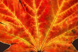 close up of a orange red yellow maple leaf in fall