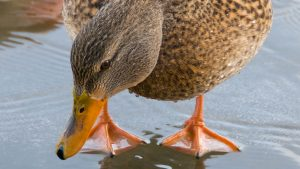 closeup of mallard in water