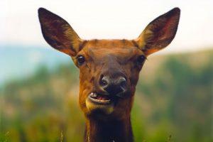 deer chewing cud