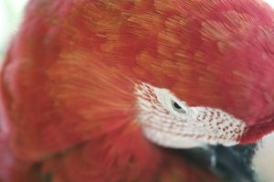 closeup of red parrot