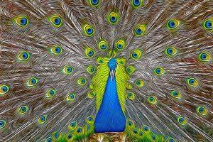 impressionist image of peacock plume