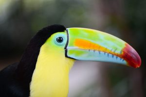 colorful rainbow billed toucan