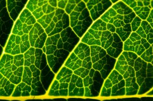 closeup of veins on lilac leaf