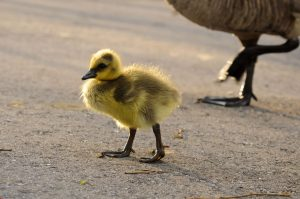 cute gosling chick walking
