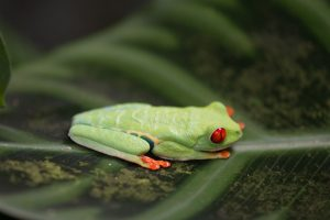 green tree frog red eyes on leaf