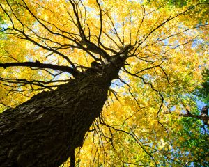 yellow maple tree in fall