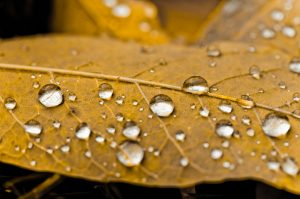 water droplets form on leaf in fall