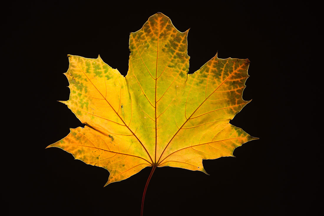 Maple Leaf in Fall2