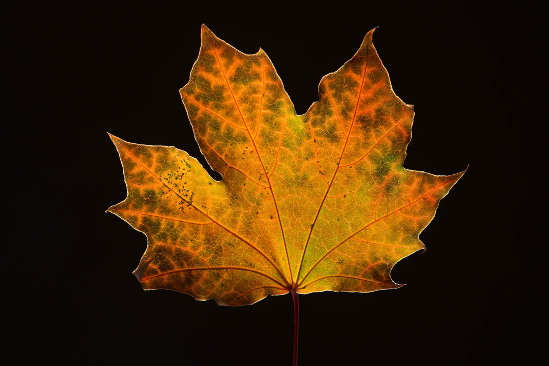 Maple Leaf in Fall4