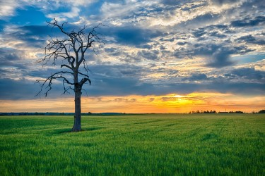The Weathered Tree and the Lush Green Field