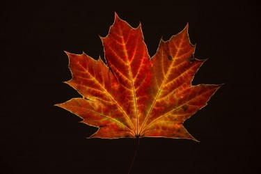 Maple Leaf on Black