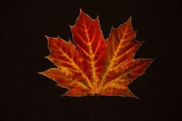 Maple Leaf on Black