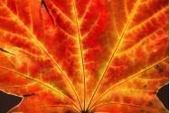 A Maple Leaf Close