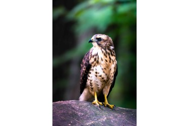 Red Tailed Hawk on Rock