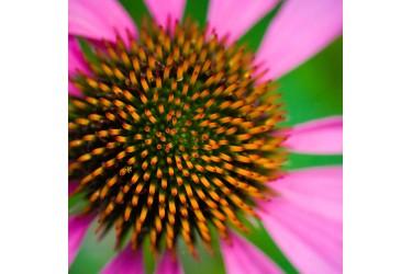 Sea Urchin Flower