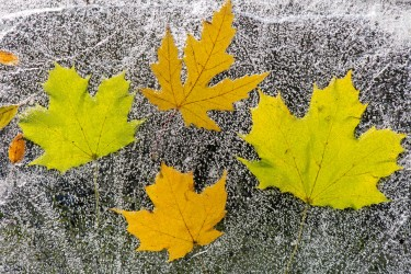 Four Leaves Under Ice