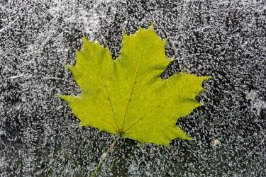Maple Leaf on Ice