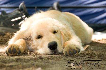 tuckered-dog