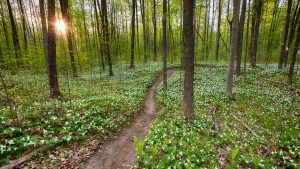 A path through a densely wooded area and a carpet of trilliums landscape photography