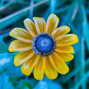 frost covered black-eyed susan