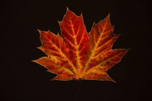 isolated fall maple leaf on black
