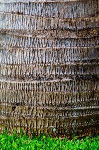 closeup of palm tree trunk