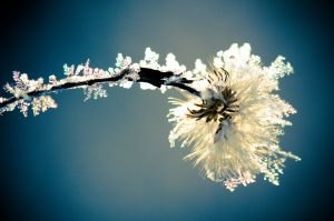 snow ice crystals formed on seed and branch