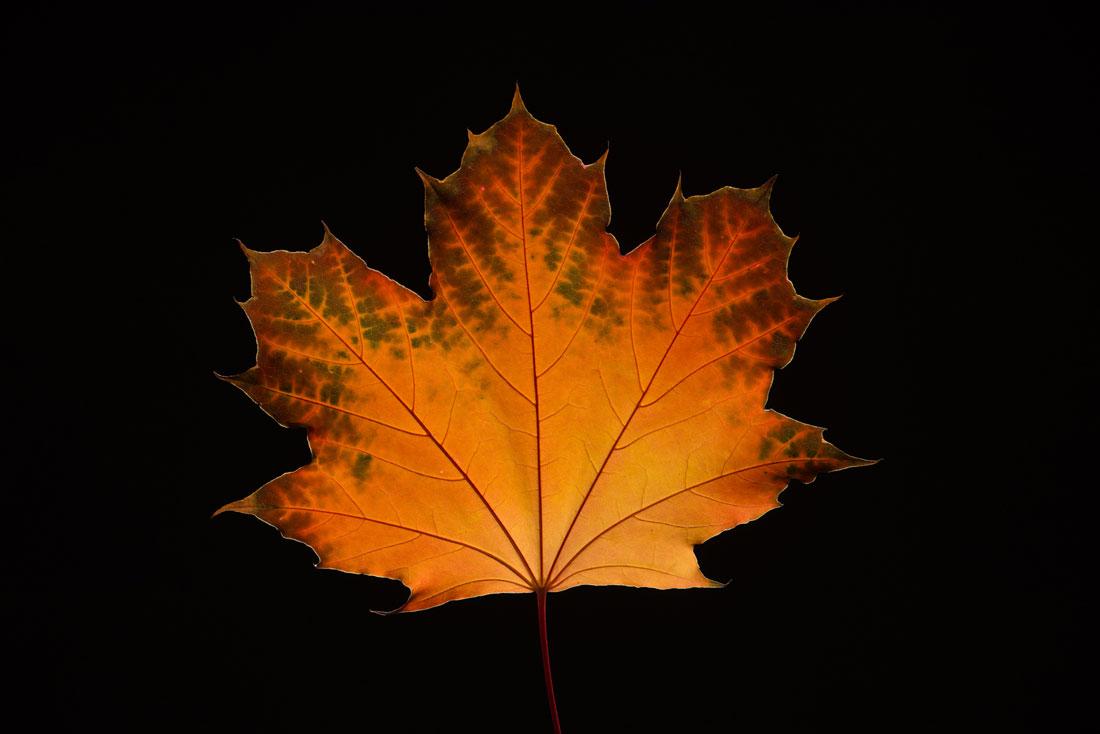 Maple Leaf in Fall1