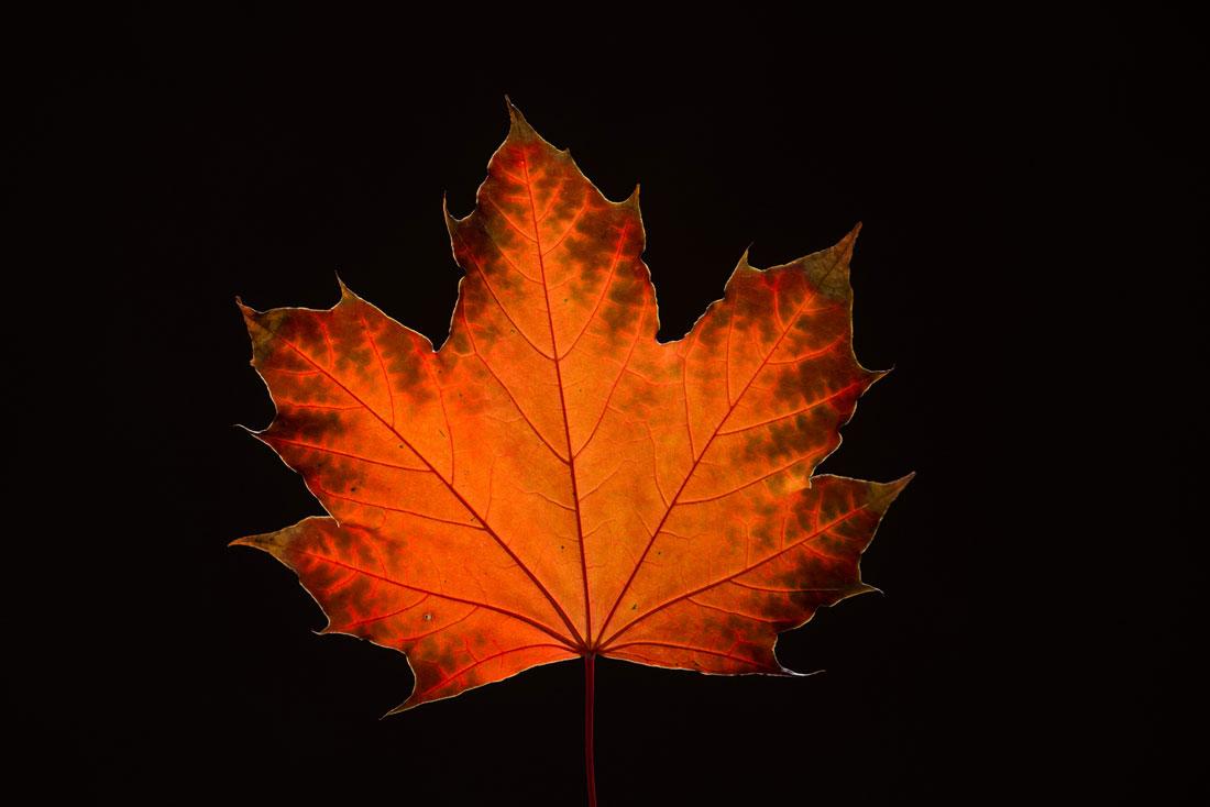 Maple Leaf in Fall3