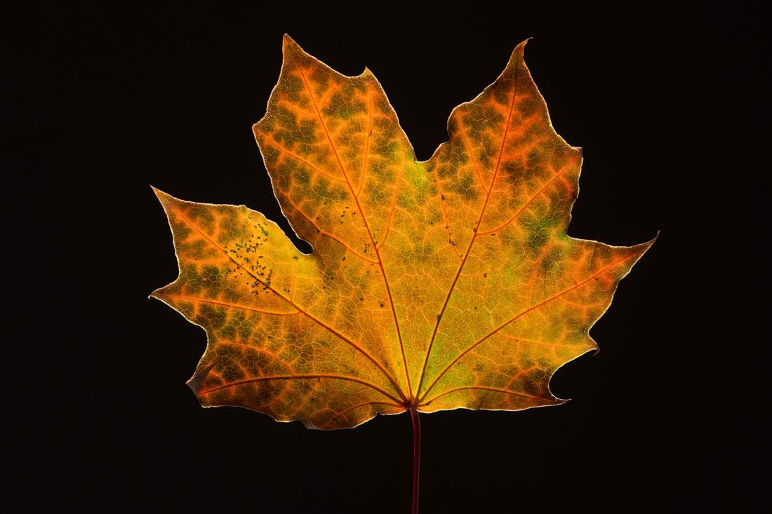 Maple Leaf in Fall4