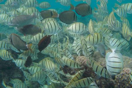 Hanauma Bay School of Fish